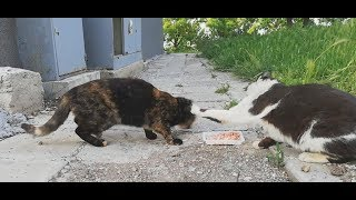 Funny cat meowing and another cat almost fight for food.