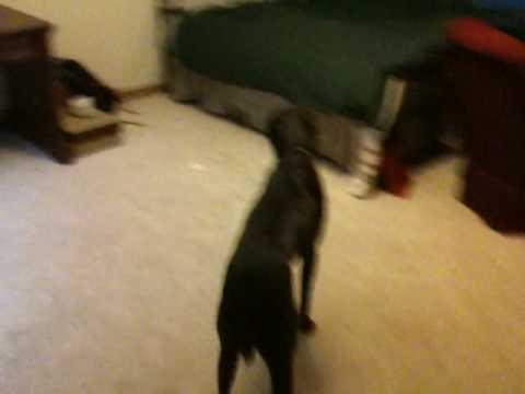Budjenje psa iz anestezije