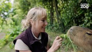 Zoo Tales - Swimming Capybara