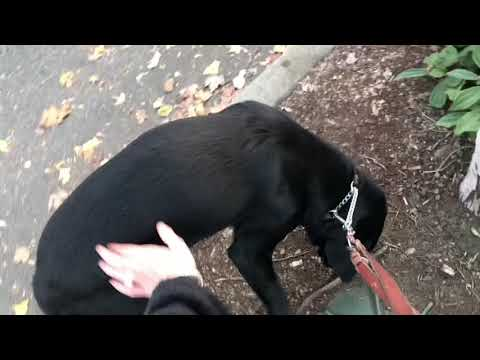 How I take guide dog Arabella potty when out working!