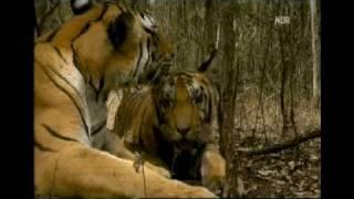 Die Geheime Welt der Tiger