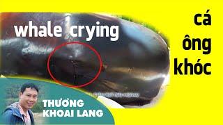 cá Bà khóc khi lụy vào bờ