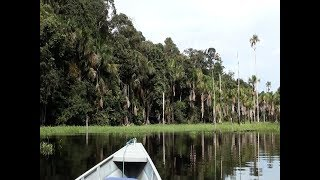 O canto do Cricrió, No balanço da canoa, Sons da Floresta Amazônica, Lipaugus vociferans,