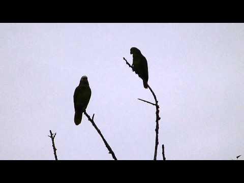 Baixar papagaios na frente de casa