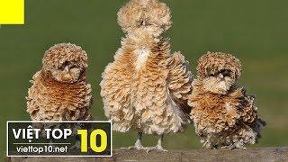 🐔 Top 15 Giống Gà Kỳ Lạ, Độc Đáo Nhất Trên Thế Giới