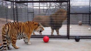 Turpentine Creek Wildlfe Refuge - Ziggy, Tigger G, and Brody Get New Digs!