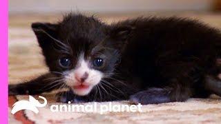 Tiny Tuxedo Cat Oreo Looks For a New Mother | Too Cute!