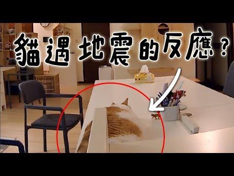 【黃阿瑪的後宮生活】貓遇地震的反應?