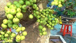 Rẻ quá, từ 300 đến 500 nghìn là có cây sung siêu quả, báo giá những cây đẹp - cheap bonsai trees