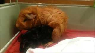 Our guinea pig Daisy gives birth!!