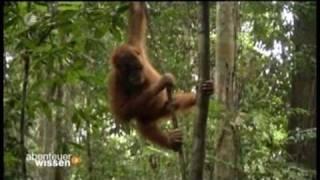 Abenteuer Wissen - Orang-Utans auf Sumatra