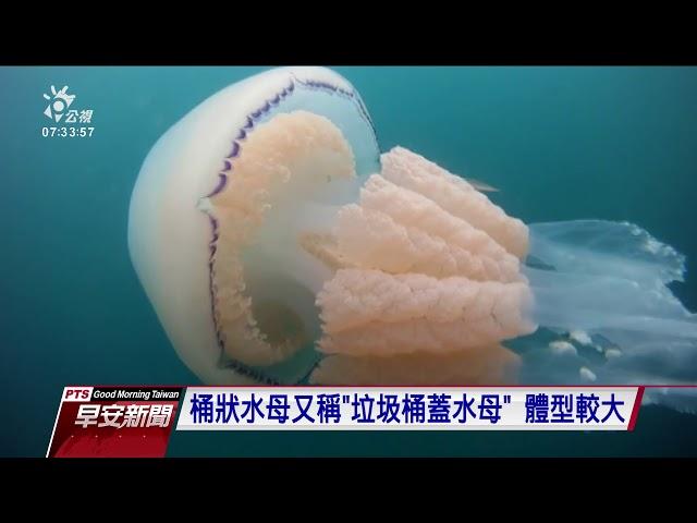 英國近海巨大桶狀水母現身 長達1.5公尺