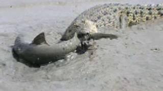 ワニVSサメ1