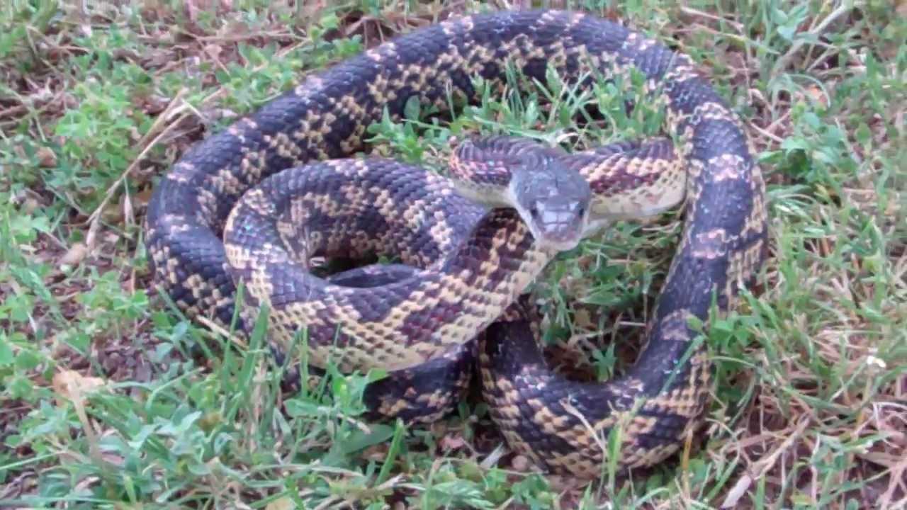 rat snake texas images - photo #4