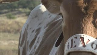 Here's a Longhorns game day in the life of BEVO XV | KVUE