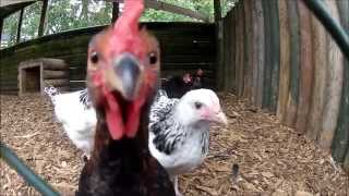 Funny Chickens