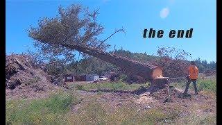 Tree Felling AGAINST a HARD Lean
