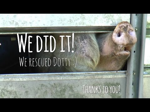 AMAZING!: WE RESCUED DOTTY THE SOW FROM SLAUGHTER!