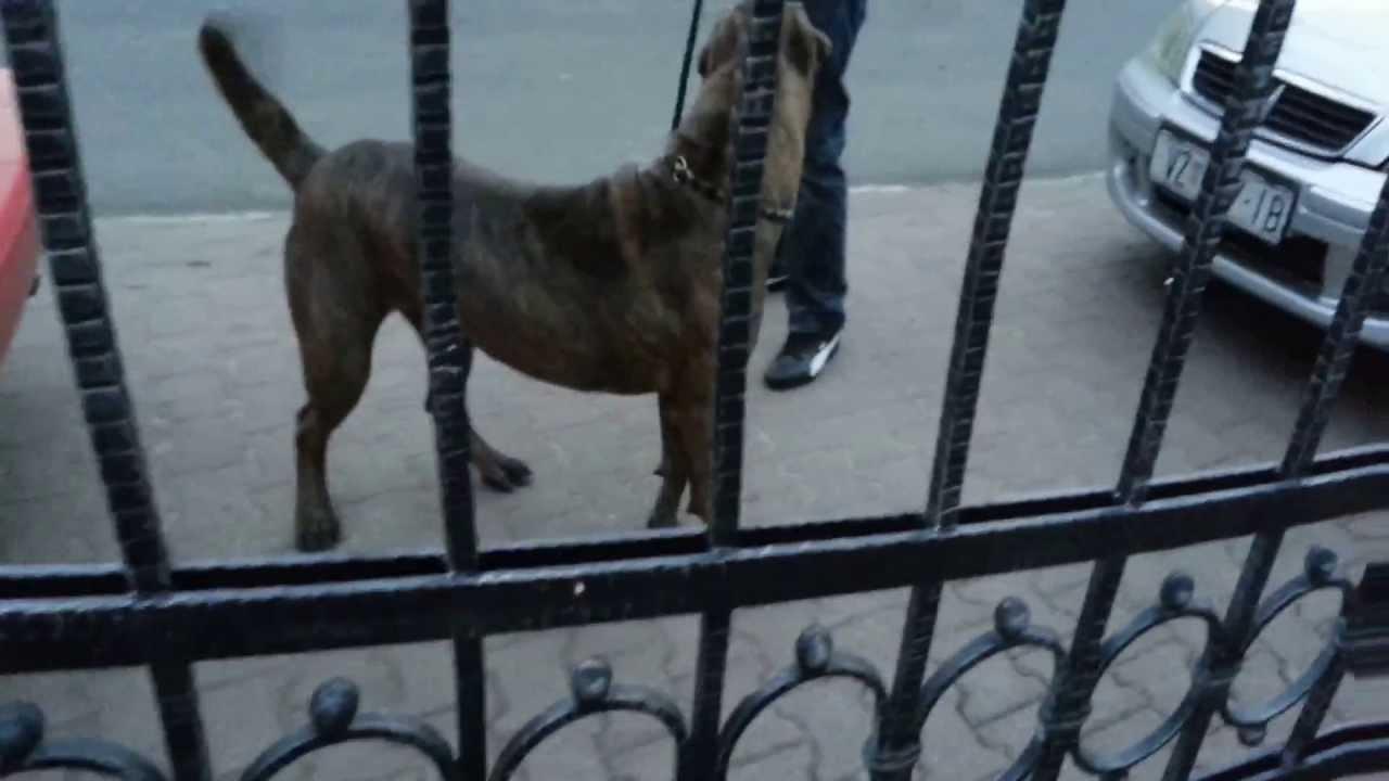 Dogo argentino vs Cane corso - YouTube