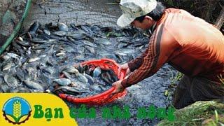 Mô hình, kỹ thuật nuôi cá sặc rằn thương phẩm ở Miền Tây