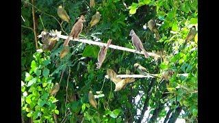 Bẫy Chim Quành Quạch ( Trao Trảo ) Bằng Keo Dính gặp toàn chim TO và Háu Chiến.