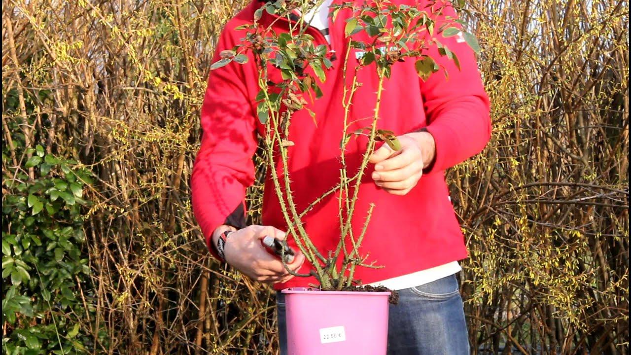 Rosen Schneiden Im Frühjahr