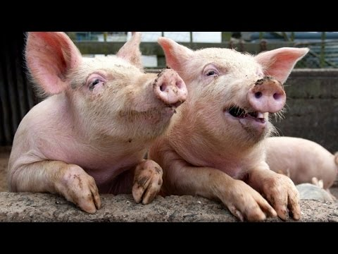 FUNNY PIGS (HD) [Funny Pets]