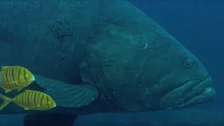 Deadly Predators of the Reef: the Queensland Grouper and the Sea Snake | BBC Earth