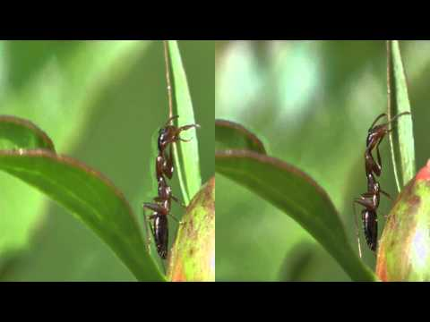 3D Ants on Peonies
