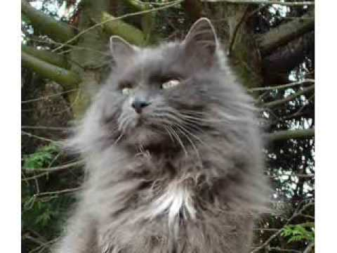 fluffy light gray cat - photo #35