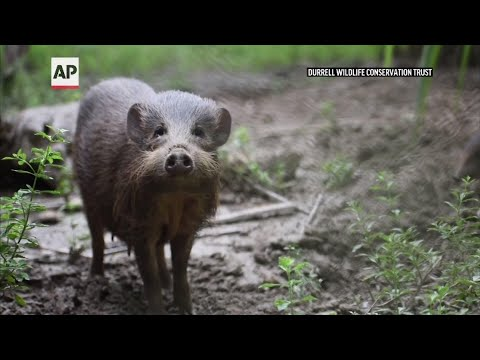 Virus Lockdown for world's rarest pig