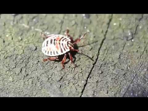 昆蟲-黃斑椿象-初齡若蟲(1)