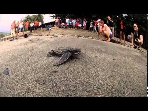 First Swim!!! Hundreds of Leatherback Sea Turtles in Grand Rivier, Trinidad