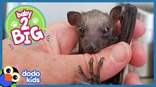 All This Baby Bat Wants to Do Is Fly | Animal Videos For Kids | Dodo Kids Baby to Big
