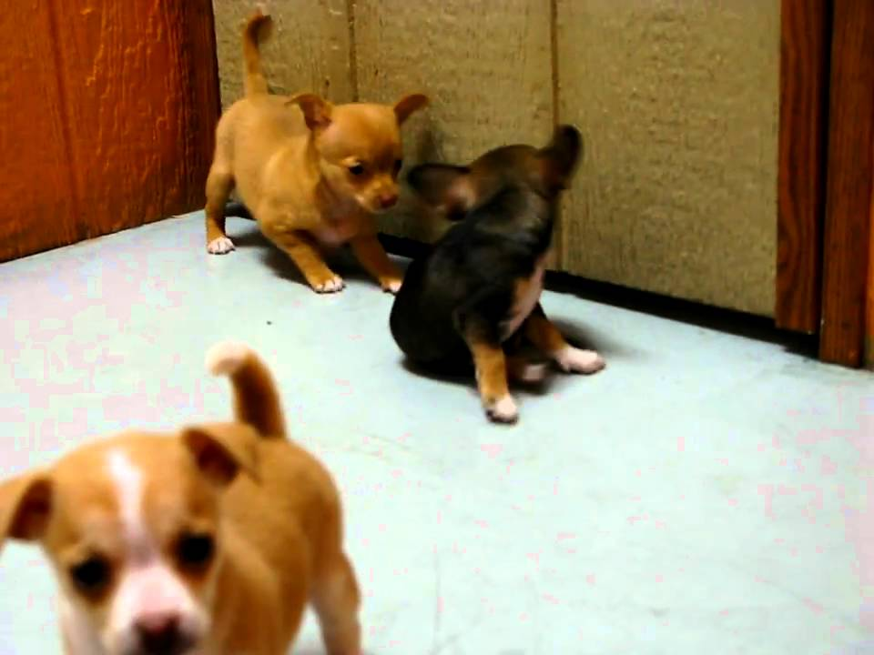 Chihuahua Puppies For Sale In San Diego California