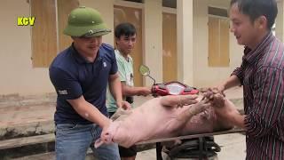 Giáo viên vào bản bắt lợn -Teacher catch the pigs