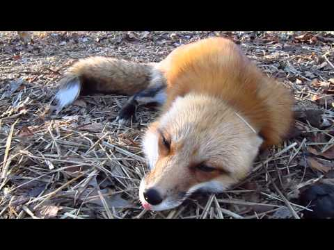 What Does the Fox Say in the Morning?