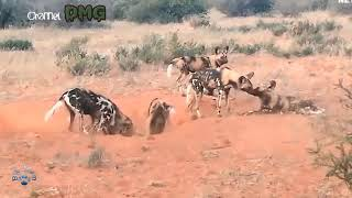 Harsh life of Wildlife 2018 Lion vs Warthog Lets Explore the Animal Planet 2019