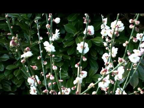 Prunus Mume Omoi-no-mama Tree