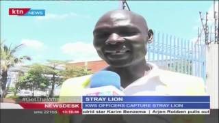 Lion strays from the Nairobi National park and injures one man