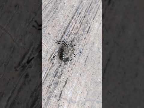 慎入 | 椿象 | 黃斑黑蝽