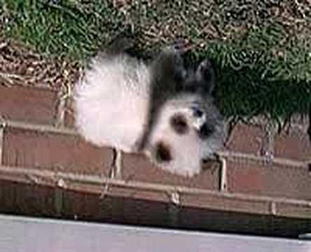 Pomeranian Panda Dog Youtube