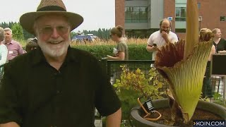 Fans flock to WSU's blooming corpse flower