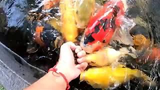 #koifood || CÁ KOI ĂN GÌ LÀ TỐT NHẤT?? THỨC ĂN CHO CÁ KOI || T K FISH FARM