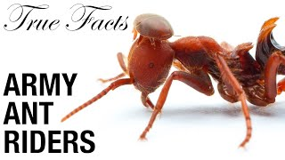 True Facts: Army Ant Riders