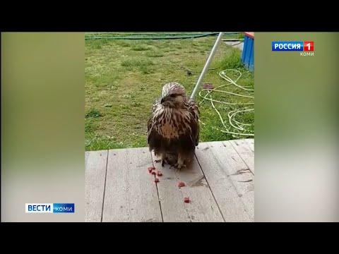Хищная птица в гостях у жителя Вуктыла