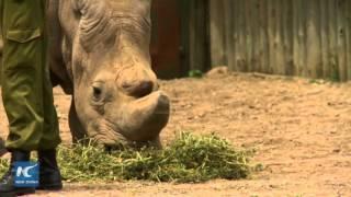 Tê giác trắng miền Bắc giống đực cuối cùng trên hành tinh