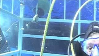 ホオジロザメ31