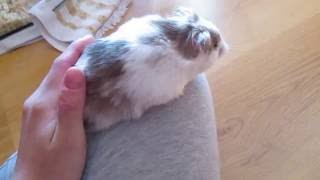 Chocolate syrian hamster (longhaired)