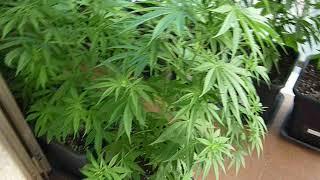 le mie piante di canapa medicinale e terapeutica (la famosa Maria Vergine)